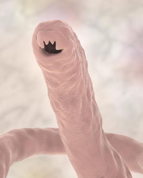 A hook worm